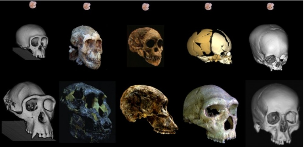 anthropology process of human evolution essay 'biologists would dearly like to know how modern apes, modern humans and the  various ancestral hominids have evolved from a common.