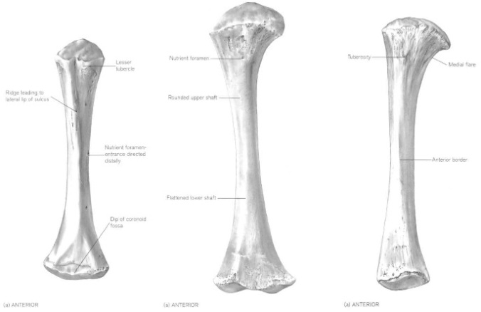 From left to right, human perinatal humerus, femur and tibia (from Scheuer and Black, 2000).