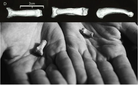 AME-VP 1/71, the sciencey name of the toe bone in question. The proximal end, toward the foot, is to the left and the distal end, toe-tipward, is to the right. Modified from plates 7.8 and 7.21 in the monograph.