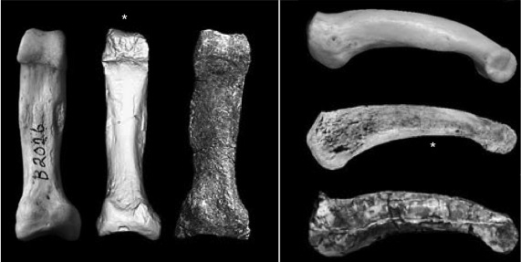 Comparison of 4th proximal pedal phalanges, scaled to same length. Left to right, and top to bottom: Chimp, Ar. kadabba and Au. afarensis. Modified from plates 7.24-7.25 in the kadabba monograph)