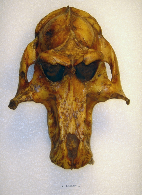 Theropithecus brumpti from the Omo basin. Photo credit: CalPhotos.