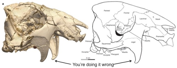 Ventana sertichi cranium (Reich et al. 2014, Figure 1a). Left is a 3D CT reconstruction, right is a line drawing highlighting all the individual bones (so many cranial bones). The view is from the right side, so the nose is on the right, the eye is the big hollow in the middle, and the back of the skull is on the left. The jugal flanges are the downward projections.