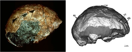 The Mojokerto infant Homo erectus. The fossil as preserved is on the left, and on the right is the reconstructed brain based of CT scans of the fossil (Figure x from Balzeau et al., 2005). The fossil and endocast are viewed from the right side so the front of the fossil is to the right.