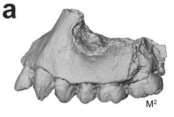 Extended Figure 1a from the paper. The type specimnen BRT-VP-3/1 maxilla. Front is to the left.