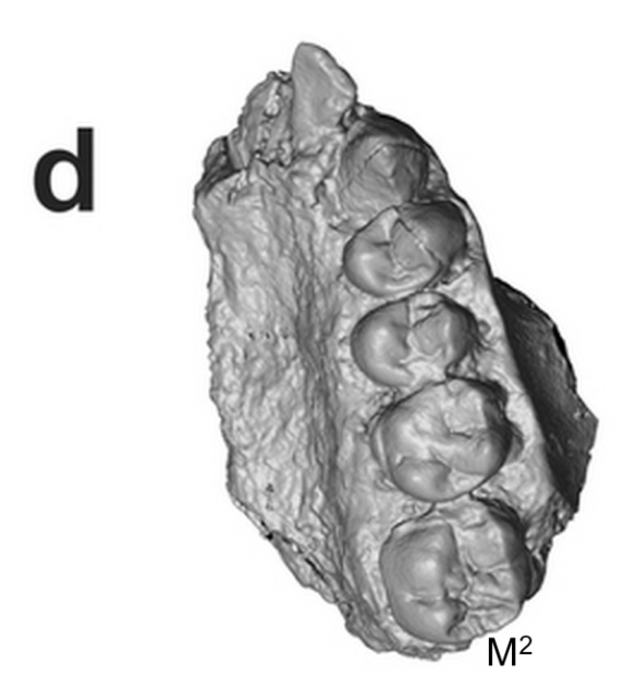 Extended Figure 1d from the paper. Same fossil, but from the bottom, like a dentist peering into its mouth. Back is to the bottom.