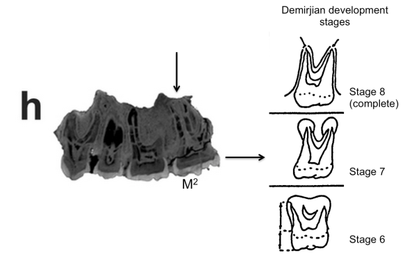 Extended Figure 1h from the paper, with a Demirjian developmental stages, modifed from Table 2 from Kuykendall et al., 1996. Compare the M2 roots with  completed roots of the M1 (to the left).