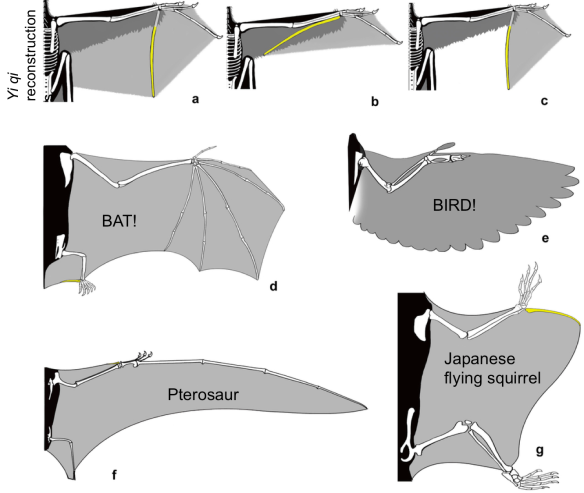 Extended Data Figure 8 from Xu et al. Comparison of the wing structure of different flying/gliding animals.