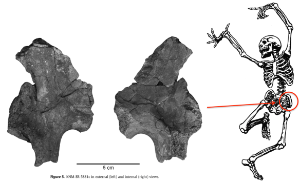 Figure 5 from Ward et al. shows the fossil. Jump for joy that it's complete enough for us to tell it comes from the left side!