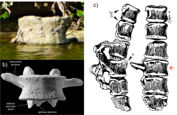 a) Our mystery vertebra. b) a lumbar vertebra from White et al. (2012). c) views of the right and front side of the Australopithecus africanus fossil StW H41, from Sanders (1998, Fig. 1).