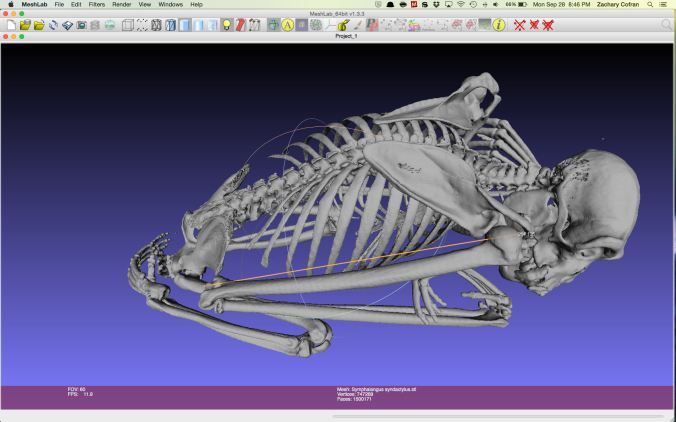 Measuring siamang (Symphalangus syndactylus) limb lengths with Meshlab. Data credit.