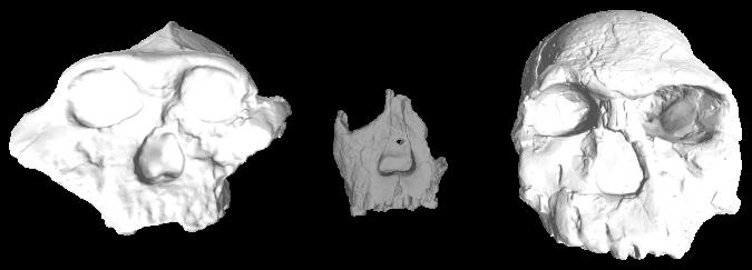 Early Pleistocene hominin fossils from Kenya. Left to right: KNM-ER 406, ER 62000 and ER 1470.
