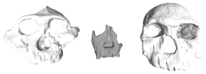 Early Pleistocene hominin fossils from Kenya. Left to right: KNM-ER 406, ER 62000 and ER 1470.