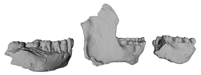 "Early Pleistocene hominin mandibles. Left to right: KNM-ER 3230, ER 60000 (""mystery"" jaw) and ER 1802."