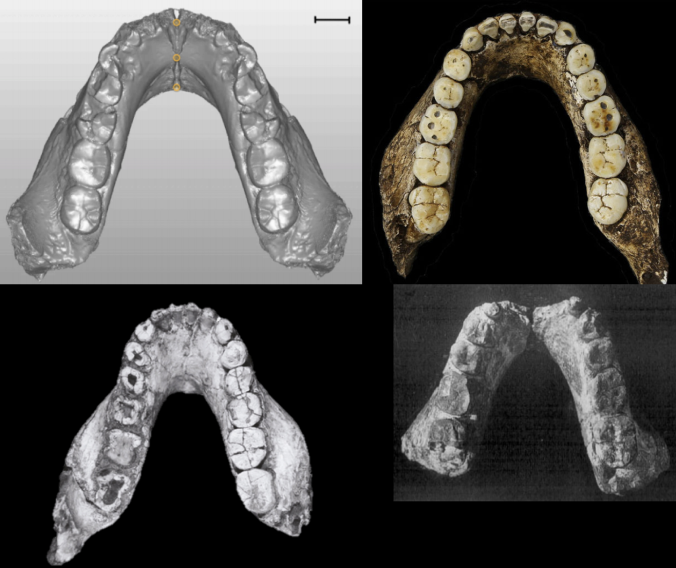 The reconstructed Ledi Geraru mandible (top left), compared with Homo naledi (top right), Australopithecus deyiremeda (bottom left), and the Uraha early Homo mandible from Malawi (bottom right).