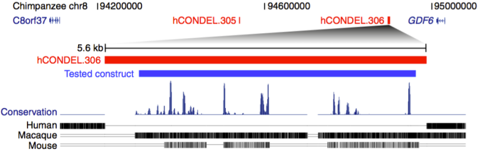 "Fig. 4A from Indjeian et al. 2016. A stretch of DNA, ""hCONDEL.306"" is completely missing in humans (as is another stretch, hCONDEL.305) but otherwise very similar between chimpanzees, monkeys and mice."