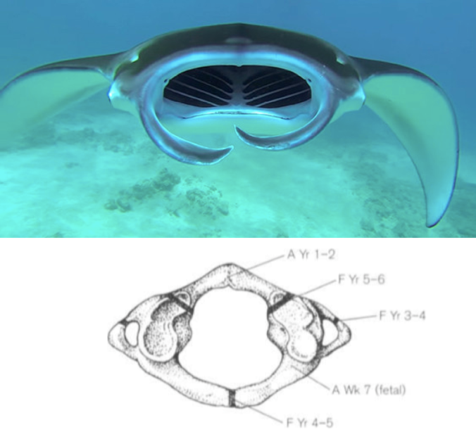 Top: Manta ray. Bottom: Atlas viewed from top, anterior is on the bottom (from Scheuer and Black, 200). A and F refer to the age at which the bony portions appear and fuse, respectively.
