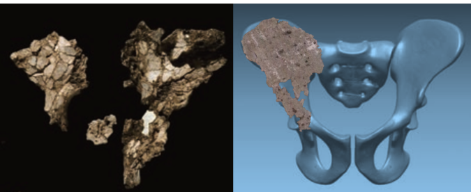 Aramis innominate fossils (left) compared with the Almaty Ardi roadside fragment overlain on the reconstructed pelvis (right).