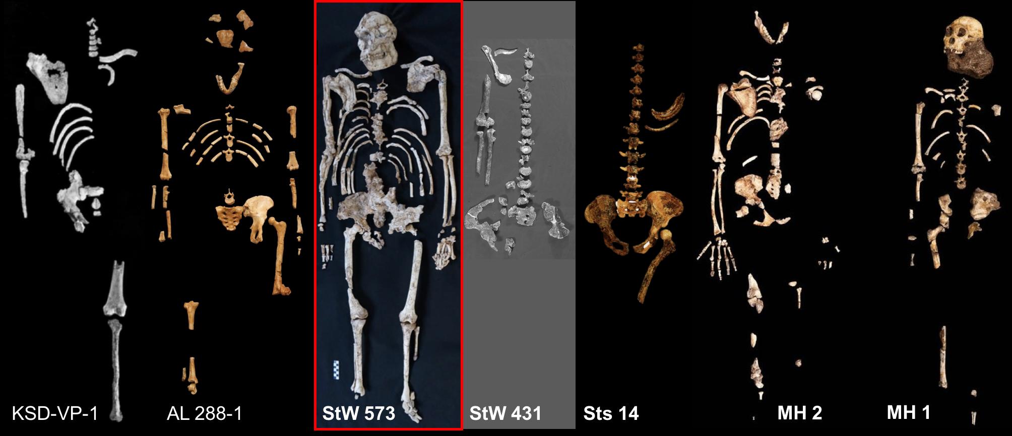 Australopithecus skeletons.png