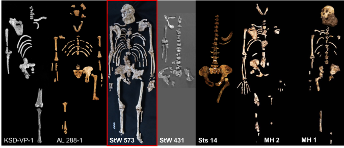 Australopithecus skeletons.png
