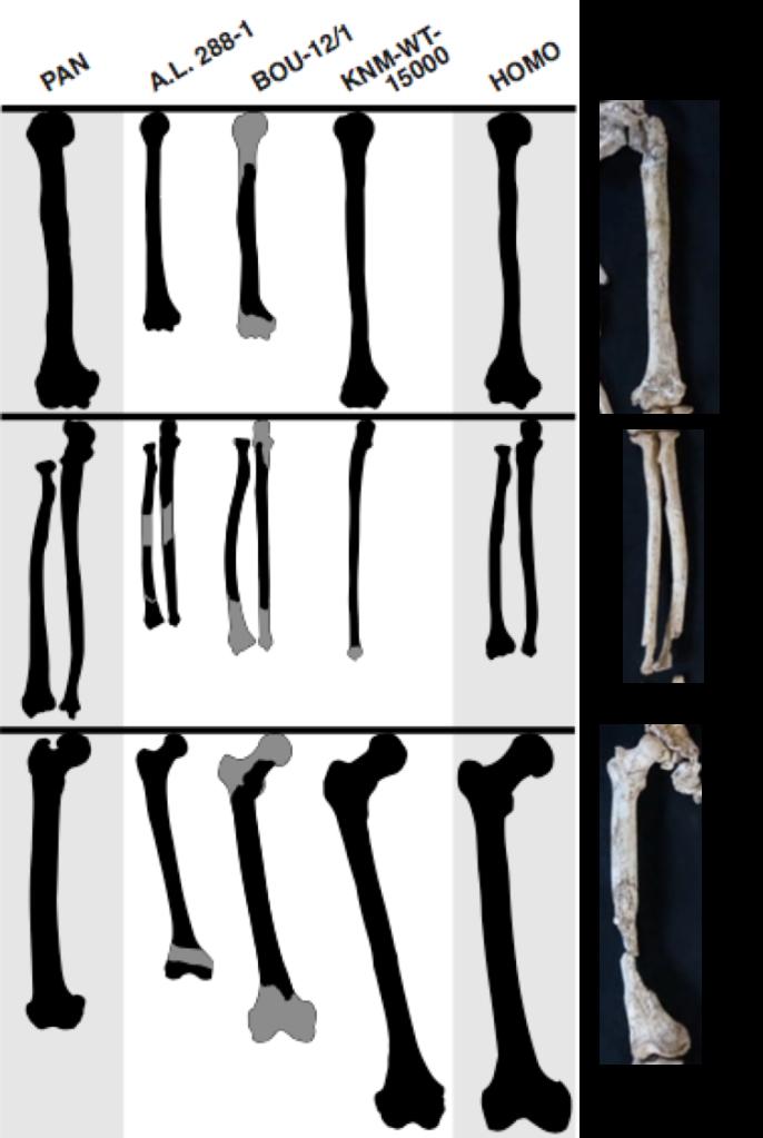 Limb comparison Stw 573
